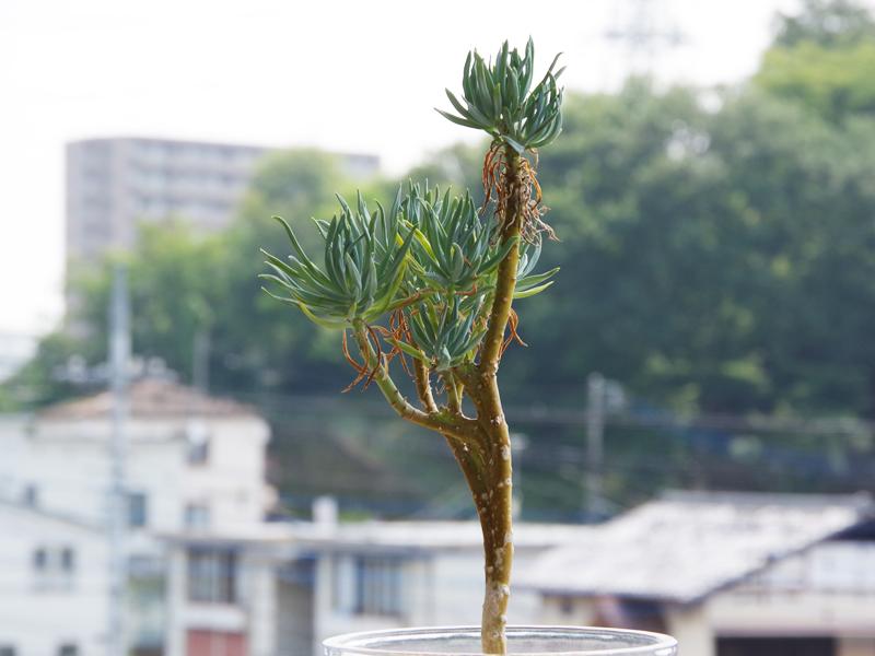 ミュータント植物:セネシオ・アンタンドロイ(美空鉾)綴化種